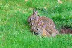 Jonge konijnen Stock Foto's