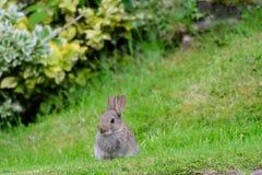 Jonge konijnzitting in gras stock afbeeldingen