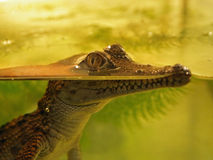 Jonge krokodil Royalty-vrije Stock Afbeeldingen