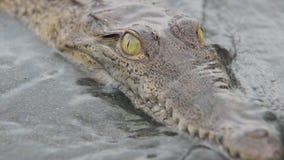 Jonge krokodil die de camera bekijken stock video