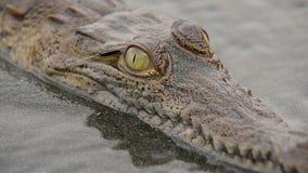 Jonge krokodil die de camera bekijken stock videobeelden