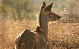 Jonge Kudu Royalty-vrije Stock Afbeelding