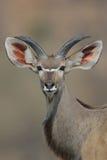 Jonge Kudu-Stier met afluisteraar Royalty-vrije Stock Fotografie