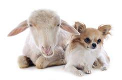 Jonge lam en chihuahua royalty-vrije stock afbeelding