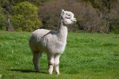 Jonge Lama Stock Afbeeldingen