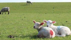 Jonge lammeren die bij het gras van de dijk rusten stock videobeelden