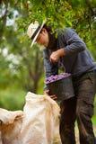 Jonge landbouwer bij pruim het oogsten Stock Afbeelding