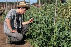 Jonge landbouwer die erwten controleren Stock Foto