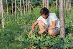 Jonge landbouwer die organische komkommers plukken bij ecolandbouwbedrijf Royalty-vrije Stock Foto's