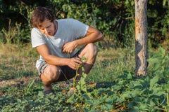 Jonge landbouwer die organische komkommers plukken bij ecolandbouwbedrijf Royalty-vrije Stock Fotografie