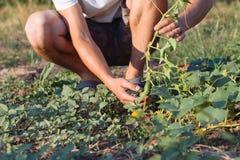 Jonge landbouwer die organische komkommers plukken bij ecolandbouwbedrijf Stock Afbeelding