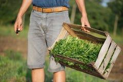 Jonge landbouwer die zich op het gebied bevinden en houten doos met peterselieinstallatie houden Stock Foto
