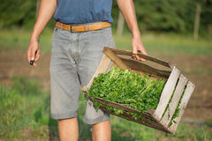 Jonge landbouwer die zich op het gebied bevinden en houten doos met peterselieinstallatie houden Stock Afbeeldingen
