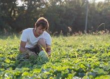 Jonge landbouwer die zijn watermeloengebied controleren bij organisch ecolandbouwbedrijf Royalty-vrije Stock Afbeelding