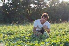 Jonge landbouwer die zijn watermeloengebied controleren bij organisch ecolandbouwbedrijf Stock Foto