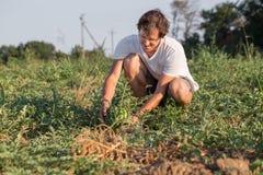 Jonge landbouwer die zijn watermeloengebied controleren bij organisch ecolandbouwbedrijf Stock Afbeeldingen