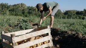 Jonge landbouwer het oogsten aardappels in emmer op het gebied bij organisch landbouwbedrijf Royalty-vrije Stock Foto