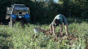 Jonge landbouwer het oogsten aardappels in emmer op het gebied bij organisch landbouwbedrijf Stock Foto's