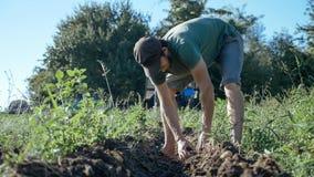 Jonge landbouwer het oogsten aardappels in emmer op het gebied bij organisch landbouwbedrijf Stock Fotografie