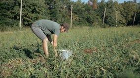 Jonge landbouwer het oogsten aardappels in emmer op het gebied bij organisch landbouwbedrijf Stock Afbeeldingen