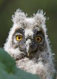 Jonge lang-eared uil (otus Asio) Stock Afbeeldingen