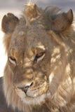 Jonge leeuw Stock Afbeeldingen
