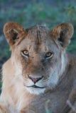 Jonge leeuw Stock Foto