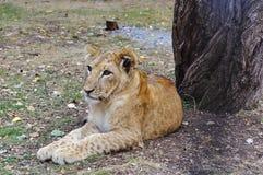 Jonge leeuw Stock Fotografie