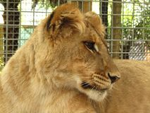 Jonge leeuw Royalty-vrije Stock Foto