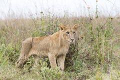 Jonge leeuw in de savanne stock afbeelding