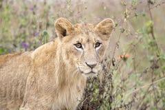 Jonge leeuw in de savanne stock foto's