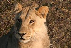 Jonge leeuw dichte omhooggaand Royalty-vrije Stock Foto