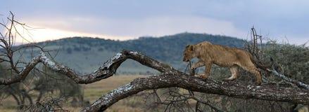 Jonge leeuw die op een tak, Serengeti, Tanzania lopen Royalty-vrije Stock Fotografie