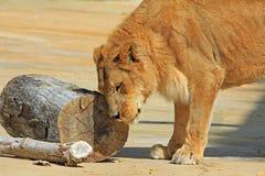 Jonge leeuw die zijn hoofd wrijft Stock Afbeeldingen