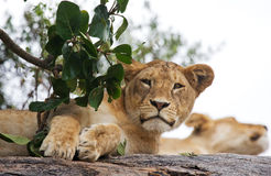Jonge leeuw op een boom Nationaal Park kenia tanzania Masai Mara serengeti Royalty-vrije Stock Afbeeldingen