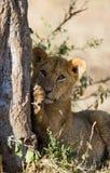 Jonge leeuw op een boom Nationaal Park kenia tanzania Masai Mara serengeti Royalty-vrije Stock Fotografie