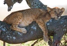 Jonge leeuw op een boom Nationaal Park kenia tanzania Masai Mara serengeti Royalty-vrije Stock Foto