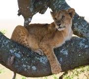 Jonge leeuw op een boom Nationaal Park kenia tanzania Masai Mara serengeti Royalty-vrije Stock Afbeelding