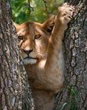 Jonge leeuw op een boom Nationaal Park kenia tanzania Masai Mara serengeti Stock Fotografie