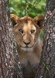 Jonge leeuw op een boom Nationaal Park kenia tanzania Masai Mara serengeti Stock Foto