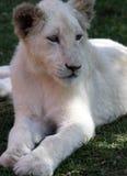 Jonge leeuwin Royalty-vrije Stock Fotografie