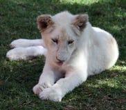 Jonge leeuwin Royalty-vrije Stock Afbeelding