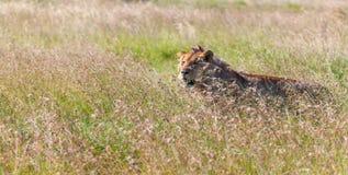 Jonge leeuwin op de achtergrond van het savannegras Royalty-vrije Stock Afbeeldingen