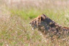 Jonge leeuwin op de achtergrond van het savannegras Royalty-vrije Stock Afbeelding