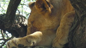 Jonge leeuwslaap stock footage