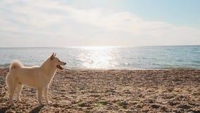 Jonge leraarslooppas met het aanbiddelijke witte puppy van shibainu op de strand langzame motie stock video