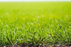 Jonge lichtgroene tarwespruiten onder de ochtendzon in de lente Royalty-vrije Stock Afbeeldingen