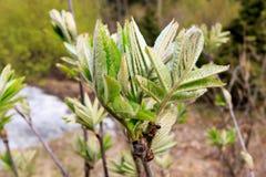 Jonge lijsterbessenbladeren die op de lente uitspreiden Royalty-vrije Stock Foto