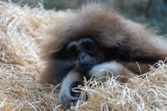 Jonge luiaard of aap bij de dierentuin stock foto's