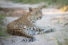 Jonge luipaard die in het zand rusten royalty-vrije stock afbeelding